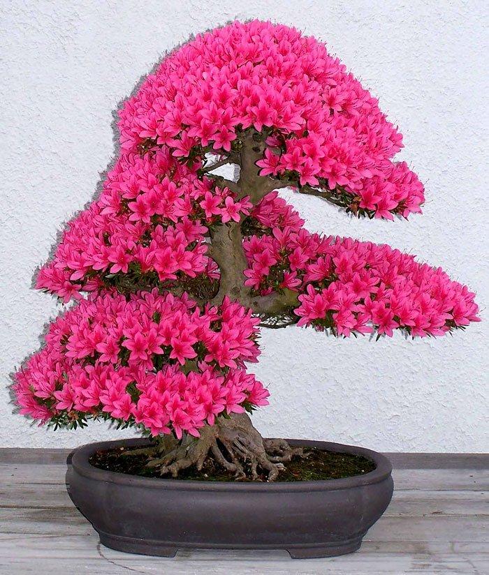 Декоративная сакура выращивание дома 11
