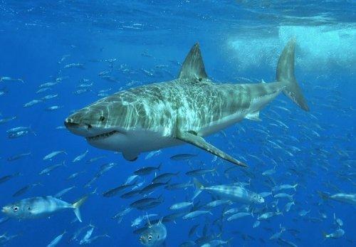 Топ-25: Малоизвестные факты про акул, которые вы могли не знать