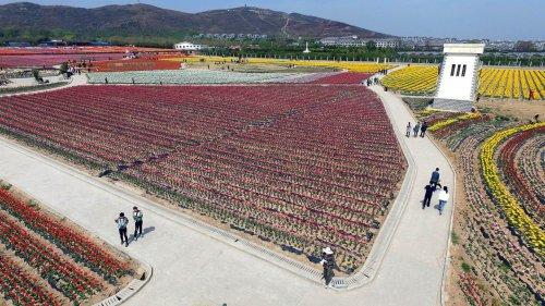 Цветущие тюльпаны в китайском парке Дунсиху (18 фото)
