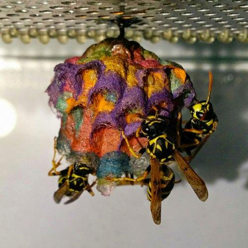 Разноцветные осиные гнёзда (5 фото)
