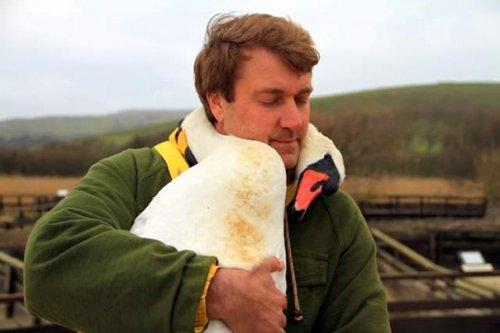 Лебедь обнял за шею спасшего его мужчину (5 фото)