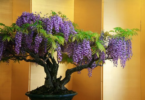 Прекрасные деревья бонсай (30 фото)
