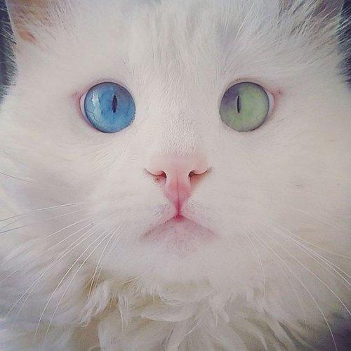 Белоснежный кот Алош с разноцветными глазами (6 фото)
