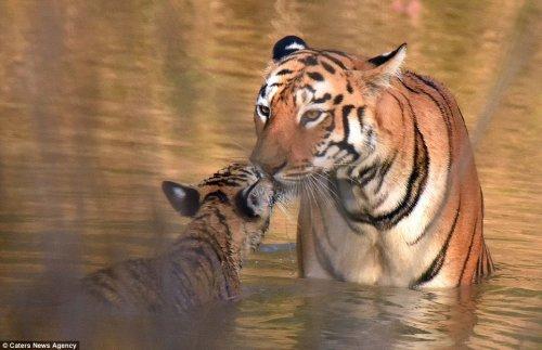 Тигрёнок с матерью купаются в реке (9 фото)
