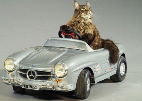 Коты, питающие страсть к автомобилям (10 фото)