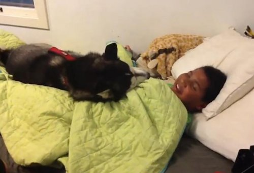 Собака–одеялом укрывака