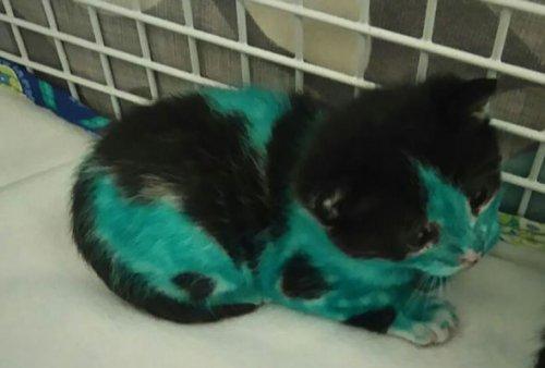 Сотрудники английского приюта для животных спасли двух котят, раскрашенных маркерами (10 фото)
