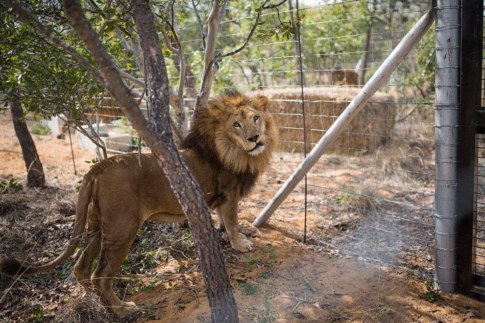 лев в доме фото