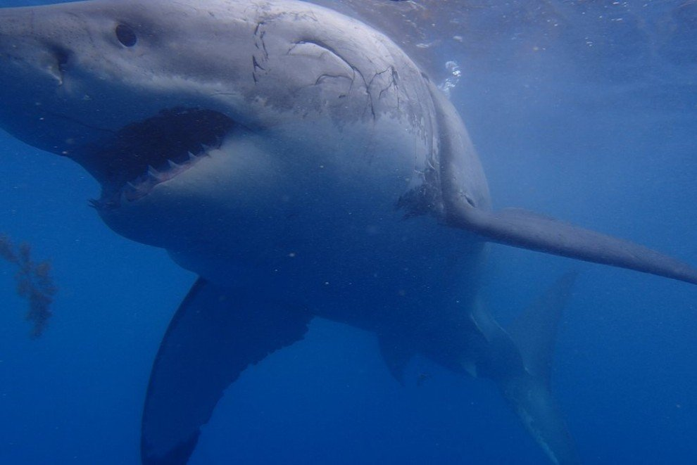 картинки самой огромной акулы в мире это
