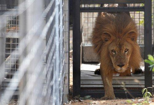 Спасённых из цирков львов выпустили на волю в африканский заповедник (20 фото)