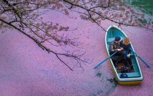 Озеро во время цветения сакуры с высоты птичьего полёта (7 фото)