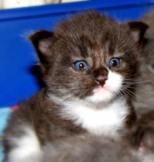 Котёнок мейн-куна в месяц и через год (7 фото)
