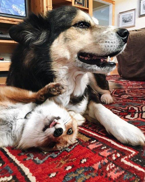 Лисица Джунипер и австралийская овчарка Мус — лучшие друзья (12 фото)