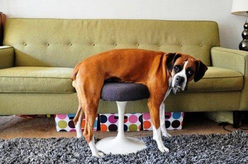 Домашние животные, которые не справились с мебелью (25 фото)