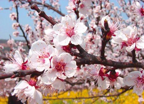 Цветение абрикоса в Китае (13 фото)