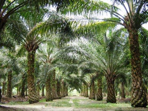 Топ-25: Шокирующие и печальные факты про пальмовое масло