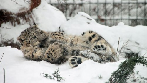 Снежные леопарды любят кусать себя за хвост (12 фото)