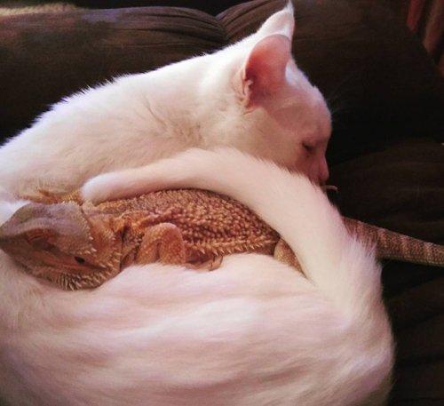 Необычная дружба кота и бородатой агамы (8 фото + видео)