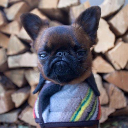 Пёсик Гизмо, который всегда чем-то недоволен (9 фото)