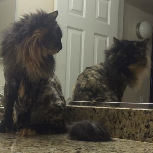 Кошки, которые не оценили свою новую стрижку (18 фото)