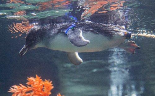 Протез для пингвина, напечатанный на 3D-принтере (6 фото)