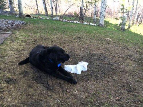 Лабрадор и последняя куча снега (8 фото)