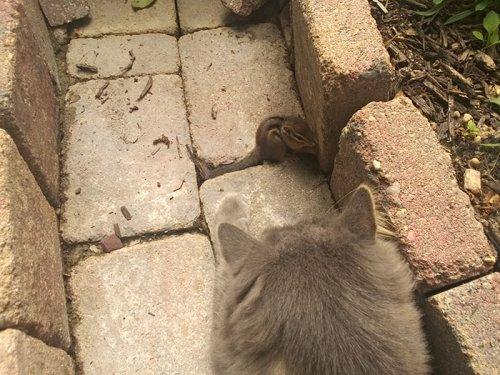 Как подружились кот с бурундуком (6 фото)