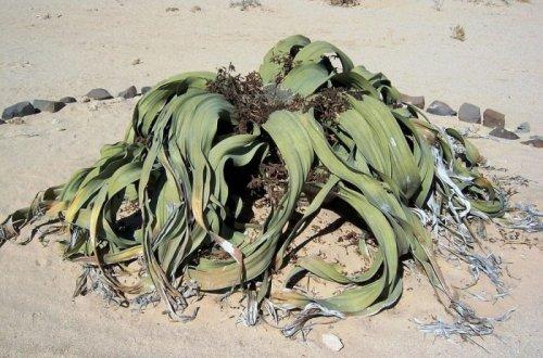 Реликтовое растение Вельвичия, живущее 2000 лет (11 фото)