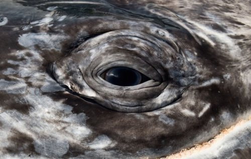 Величественная красота китов и дельфинов в фотографиях Кристофера Суонна (11 фото)