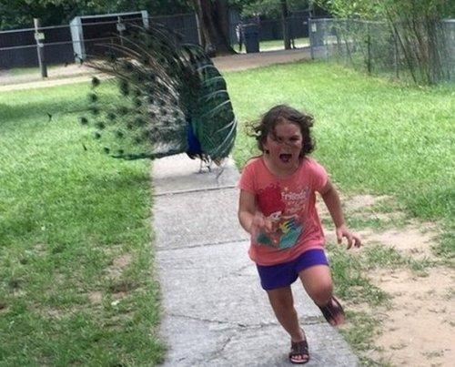 Фотожабы на убегающую от павлина девочку (9 фото)