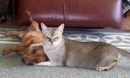 Кошки, одержавшие верх над собаками (10 фото)
