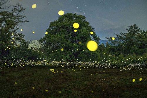 Световые представления светлячков в лесах Японии (10 фото)