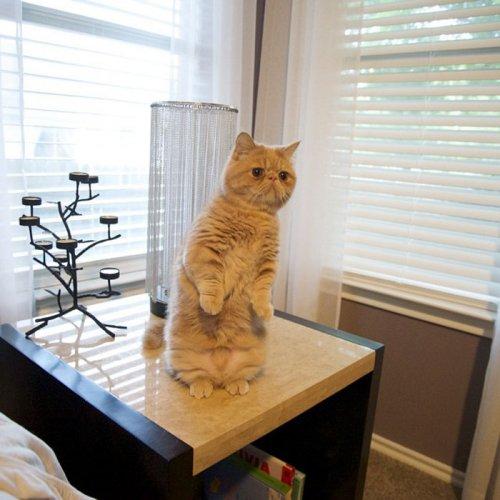 Кот Джордж, который любит сидеть на задних лапах (15 фото)
