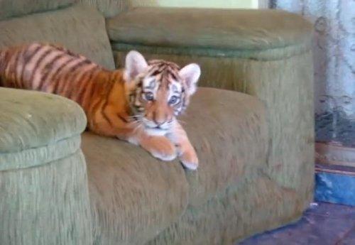 Когда ещё не знаешь, что ты — тигр