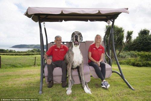 Датский дог Мэйджор может стать самой высокой собакой в мире (8 фото)