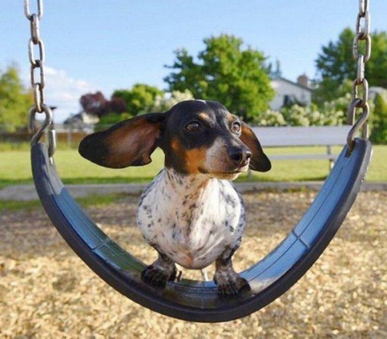 картинки собака на качелях дар перевоплощения