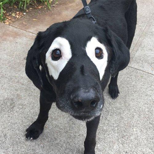 Лабрадор с глазами панды и фотожабы на него (15 фото)