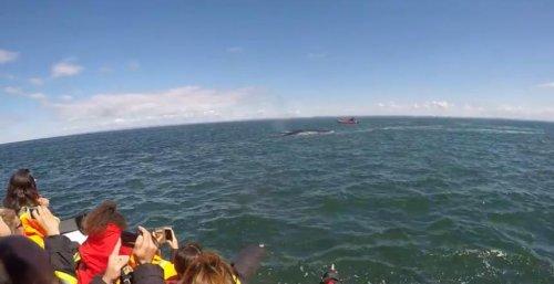 Увлёкшийся охотой кит чуть не протаранил лодку с туристами