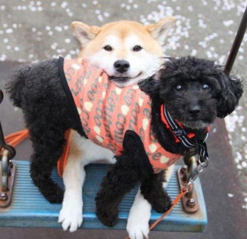 Собаки тоже любят кататься на качелях (10 фото)