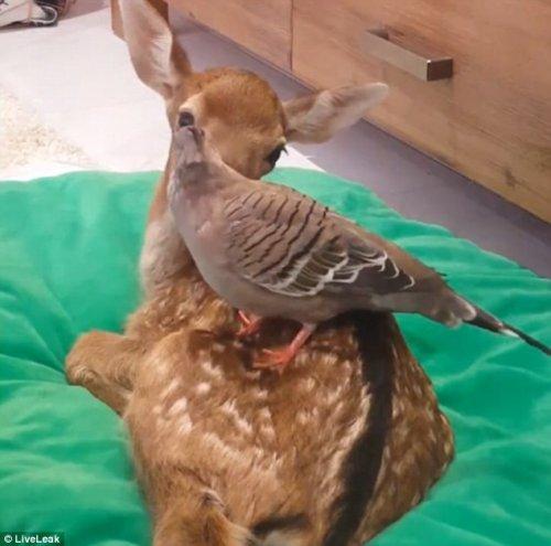 Необычная дружба спасённого оленёнка с голубем (5 фото + видео)