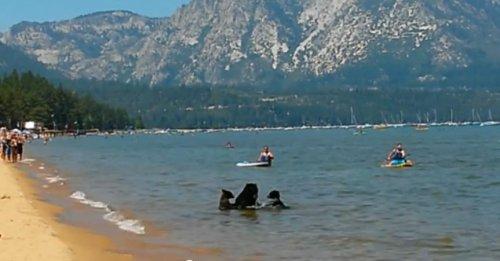 Медведица привела медвежат на озеро Тахо искупаться