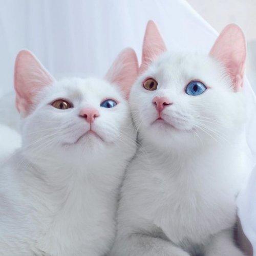 Белоснежные Ирис и Абис с разноцветными глазами (12 фото)