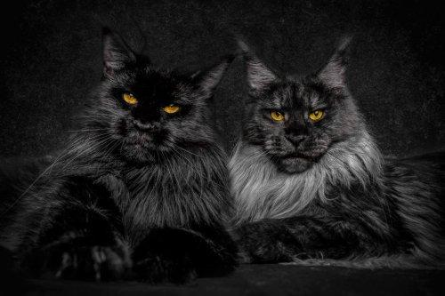Фотопортреты кошек породы мейн-кун (12 фото)