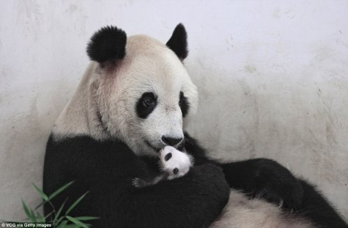 В зоопарке Шанхая родила большая панда (9 фото)