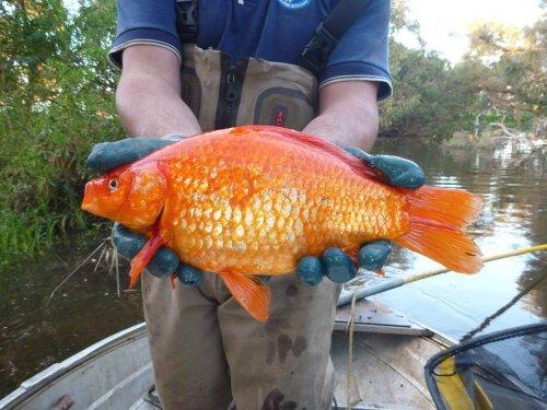 Аквариумные золотые рыбки, выпущенные на волю, превращаются во вредителей (2 фото)