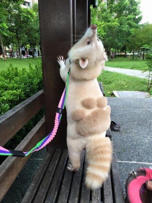 Домашний енот с самой мимишной стрижкой (5 фото)