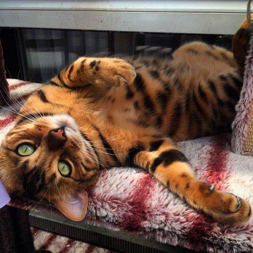 Зеленоглазый бенгальский кот Тор покоряет Интернет (10 фото)