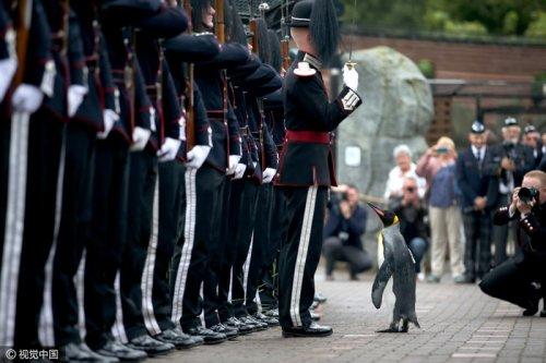 В Эдинбургском зоопарке императорского пингвина возвели в рыцари и наградили званием полковника (3 фото + видео)