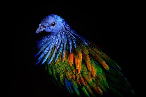 Красочное оперение никобарского голубя, ближайшего родственника вымерших дронтов (9 фото)