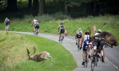 Велогонщика сбил перебегавший дорогу олень (3 фото)